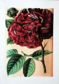 La Rose Génie de Chateaubriand